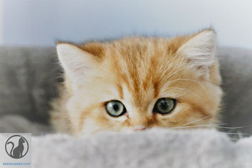 Rassekatzen BKH Kätzchen Kitten Wurf 2019 mit Stammbaum vom Züchter. .Liebe BLH BKH in der Farbe ticked tabby und in der Fell Farbe spotted tabby