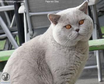 BKH Deckkater und Vater des Katzenbabys BKH Elina. BKH Kater Farbe der Augen in starkem Kupfer. Er ist nicht colourpoint oder tabby