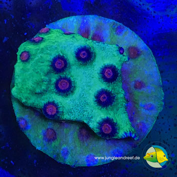 Alien Pox Cyphastrea
