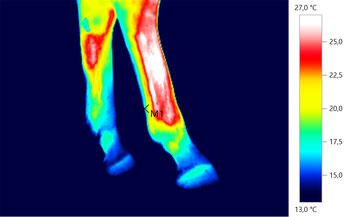 Einschuss gefährdetes Hinterbein mit akuter Entzündung durch kleine Verletzung erkennbar