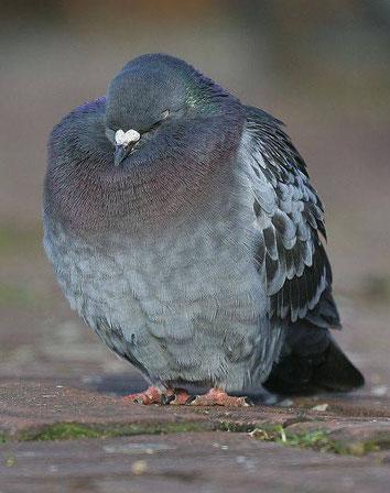 aufgeplusterte Taube mit geschlossenen Augen