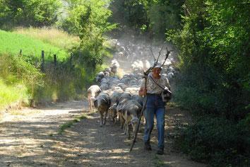 Drailles et troupeaux