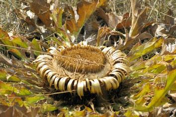 cardabelle du Sauveterre