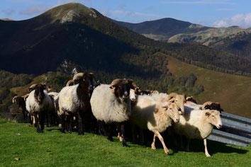 Vive l'élevage en montagne!