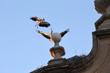 Cigognes en Espagne