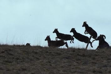 Saute-mouflon