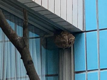 病院の窓の近くに作った蜂の巣