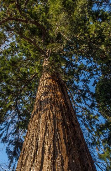 """Einer der riesigen Bäume im Kur- und Schlosspark - dieser hier war leider nicht angeschrieben, andere nebenan waren mit """"Mammutbaum"""" beschriftet."""