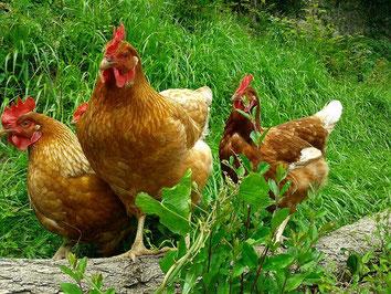 Polli allevati all'aperto
