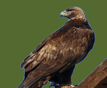 NC500 Golden Eagle