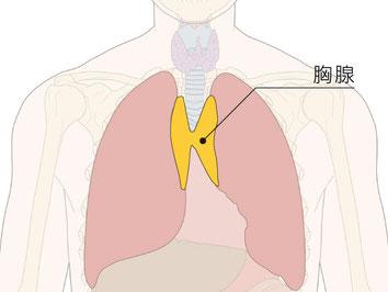「胸腺」位置図