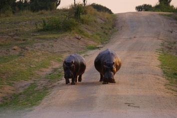 Nilpferde in Uganda