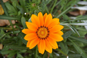 Mittagsblume in unserem Garten