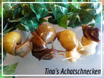 https://www.tinas-achatschnecken.de/