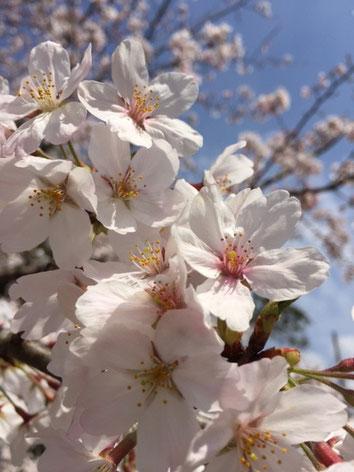 今日から4月です。あちこちで桜が満開ですね~❤ そういえばエイプリルフールって今はあるの??