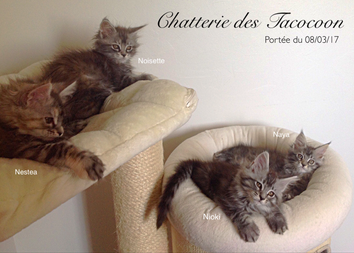 Nos chatons Maine Coon à 1 mois