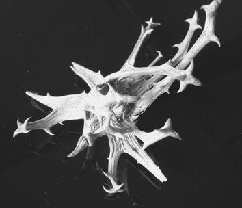 Teufelskralle, Harpagophytum procumbens