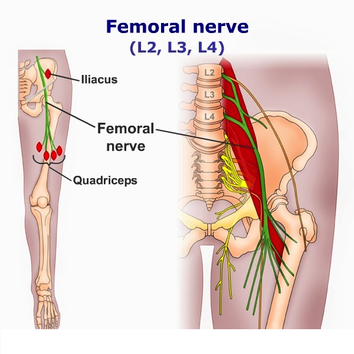 anatomy of the femoral nerve