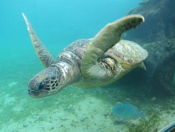 Kelonia, Réunion, Schildkröten