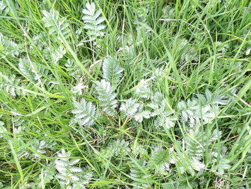 Silverweed Argentina anserina