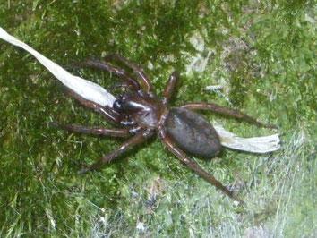 Spider Coelotes atropos