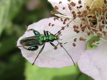 Thick-legged flower beetle. Oedemera nobilis