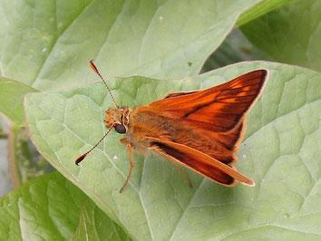 Large skipper butterfly Ochlodes sylvanus