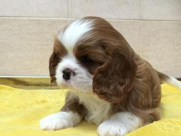 Cucciolo Cavalier King