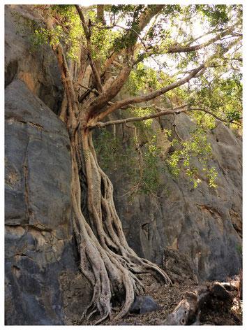 Ficus sycomore de Namibie