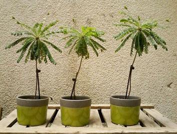 Biophytum sensitivum Zimmerpflanzen Pflege