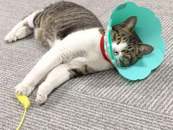※推定年齢8ヶ月、去勢も済ませ退院後新事務所にて・・・今はエリザベスも取れてすっかり落ち着いています。