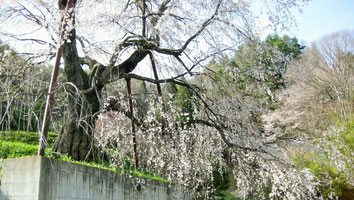 成就院の枝垂桜(池田町)