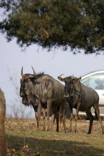 Les gnous comme d'autres animaux de la savane sont observables depuis la voiture au Safari Parc de Peaugre.