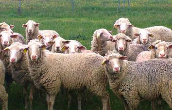 La oveja merina