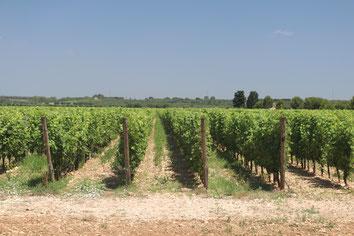 in Reihen kultivierte Weinreben in vollem Grün in der Region Manduria