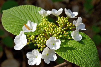 Hobblebush (Viburnum alnifolium - syn. lantanoides) blooms in early May in the woods of Distant Hill Gardens.
