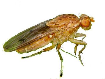Die Trüffelfliege kreist zuerst über dem reifen Trüffel-Fruchtkörper und legt dann in der Erde darüber ihre Eier ab. Die Larven graben sich zum Trüffel vor und fressen kleine Löcher die Fruchtknolle.     Heleomyzidae – Scheufliegen:  Die Scheufliegen habe