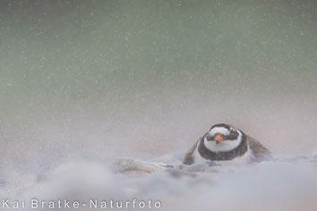 brütendes Weibchen im Sandsturm