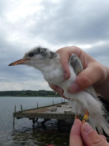 Jungvogel mit Farbring (Foto: Andrea Gehrold)
