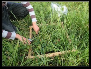 Prélèvement des échantillons d'herbe dans un quadrat de 50 cm sur 50 cm
