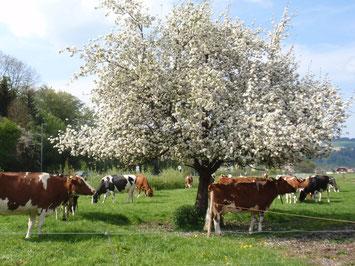 Die grosse Freude und Begeisterung des Betriebsleiters sind die Kühe und die Viehzucht