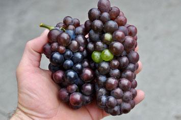 Mutierte Beeren auf Pinot Gris Trauben