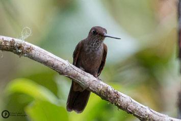 Bronzy Inca - Coeligena coeligena - Bronzeandenkolibri
