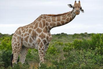 Giraffe Amakhala Reservat, Südafrika-Rundreise