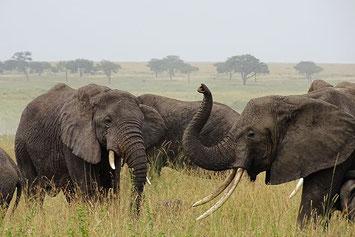 Elefanten auf einer Tansania Safari, Tansania Reise