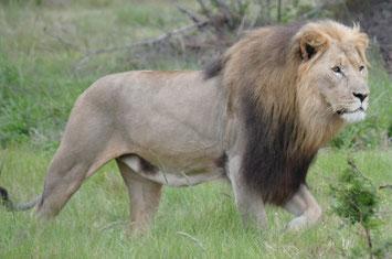 Löwe Krüger Nationalpark, Südafrika-Rundreise