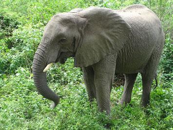Elefant Lake Manyara Nationalpark