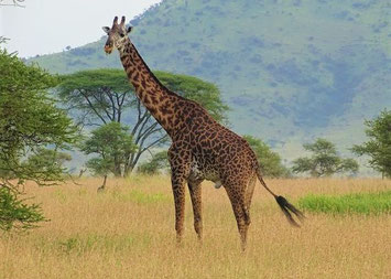 Ruaha Nationalpark Tansania Safari