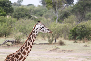 Giraffe Tansanias Norden private Safari