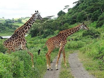 Giraffe Arusha Nationalpark